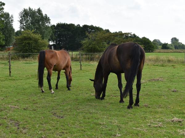 Pferde-Weide-grasen-reitschule-am-ententeich